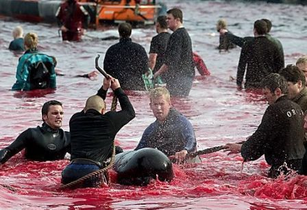 Faroe Islands Whale Slaughter