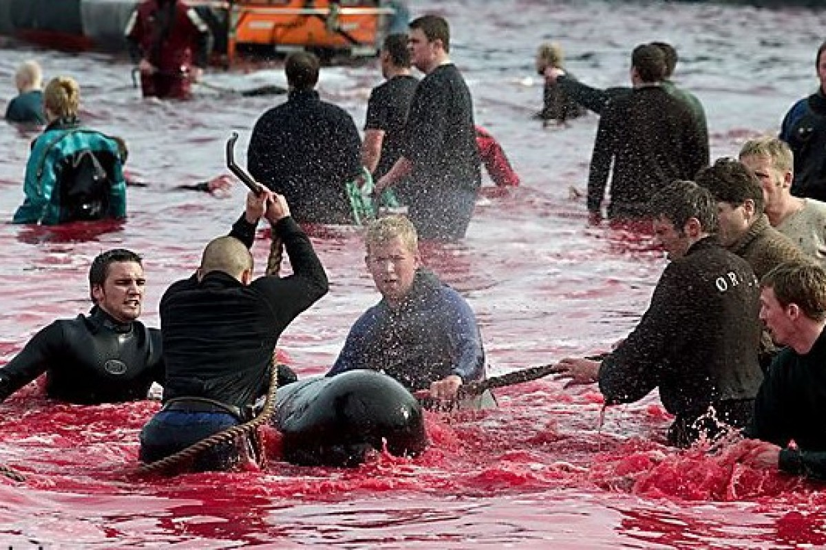 Faroe Islands Slaughter Whales